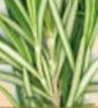 ローズマリーの葉